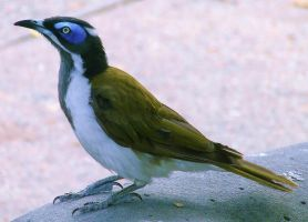 Blue Eyed Honeyeater by SpectreOfShades
