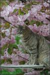 Cherry blossom cat by Nameda