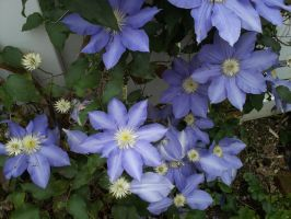 Clematis by crazedhobbit