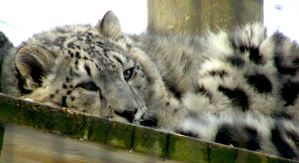 Snow Leopard Cub by Fictionary