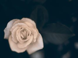Shallow Rose by KBeezie