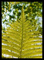 Fern by Skia