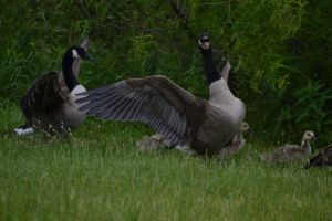 Geese 10 by Noble-Kenshi
