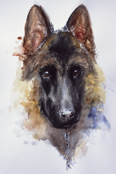 Shep watercolor by Hedax