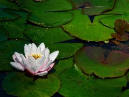 Waterlily by childwoman