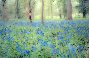 Bluebell woods by grbush