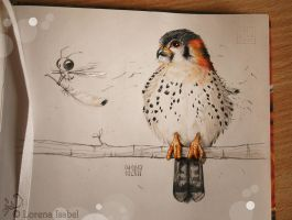 American Kestrel by Loisa