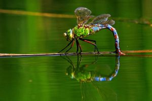Dragonfly by Dtomi84