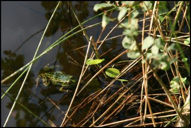 frog at the elven lake 1 by Adarion