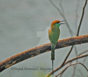 Chirpy Green Bee eater by blownmagic