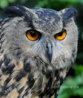 Intense and Waiting... An Owl by SeaSpryte