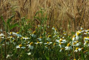 Chamomile flowers near ... by steppeland