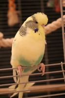 Budgie by Beliou