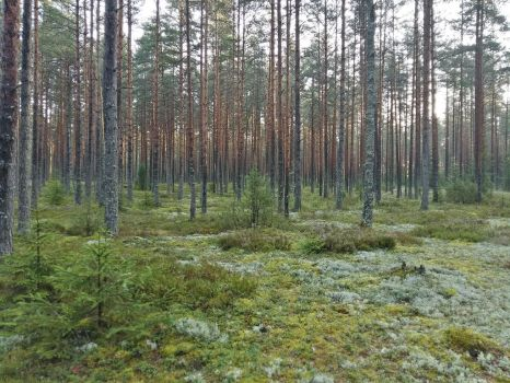 Latvia forest 8 by moonrosy