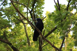 Carrion Crow by Serial-Painter