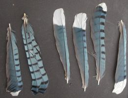Jay Feathers by lockstock