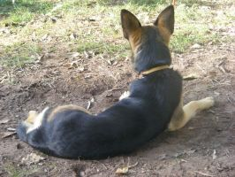 German Shepherd 1 by faraf-stock-xx
