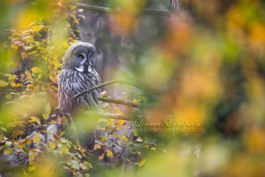Great Grey Owl by linneaphoto
