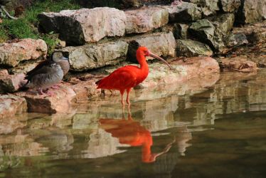 Scarlet Ibis and Duck by loonyleo