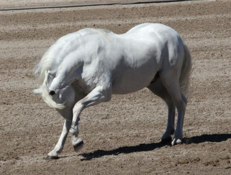 white andalusian 2 by venomxbaby