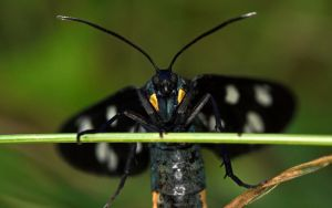 Nine-spotted moth by blackasmodeus