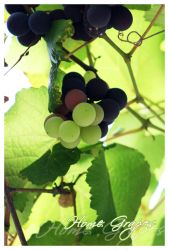 Home Grapes by camilord