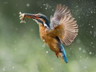 Common Kingfisher by Jamie-MacArthur