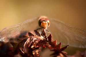 dragonfly by schneids