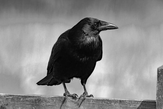 Carrion Crow in black and white by pell21