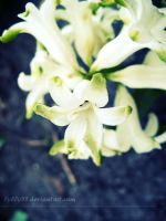 White Beauties by Lylly55