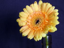 BASIC TERMS, Gerbera 1 by mmp-stock