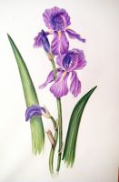 iris on coloured pencils by GreenDragonflies