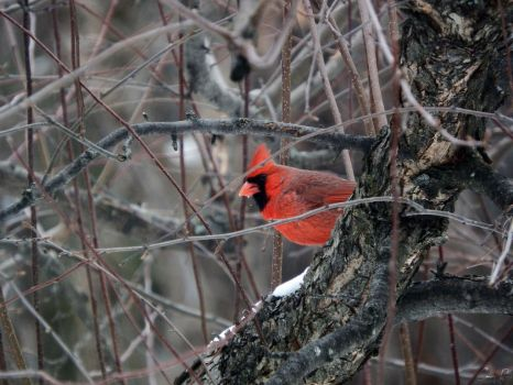Red Bird. by Sparkle-Photography