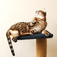 Bengal Kitten Lounging Stock 1 by FurLined