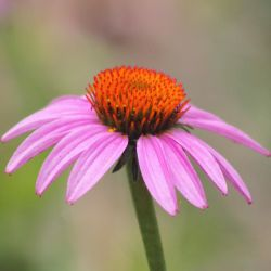 Coneflower by AbstractDr3ams