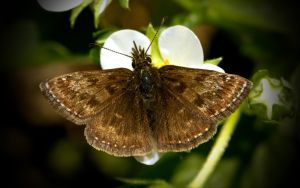 the Dingy Skipper by blackasmodeus