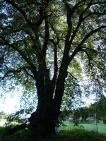Big tree, don't you think? by Mayorati