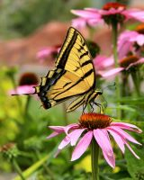 Tiger Swallowtail on a Coneflower by TheSleepyRabbit