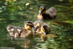 Ducklings by amrodel