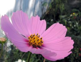 A Pink Cosmos by JocelyneR