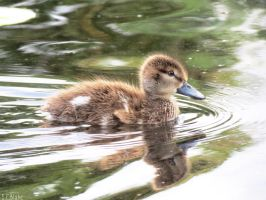 Grey teal duckling by kiwipics