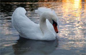 Swan from the series 1-3 ~ AStoKo by AStoKo