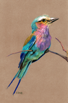 Lilac-Breasted Roller by EquineRibbon
