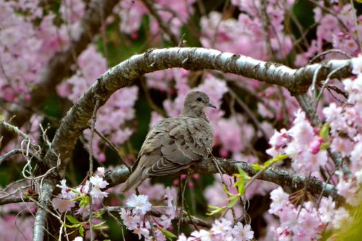 Mourning Dove in Cherry Tree by notneb82