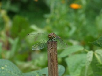 Dragonfly by Wanderlouve