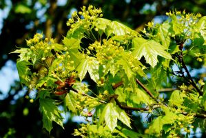 Norway Maple Spring by Earth-Hart