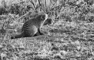 Banded Mongoose by Darth-Marlan
