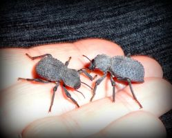 Death Feigning Beetles 3-5-5-13 by wiccanwitchiepoo