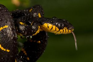 Wet Mangrove snake by AngiWallace