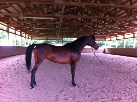 Horse Stock - Arabian horse- Sienna 2 by MichellesParanormal